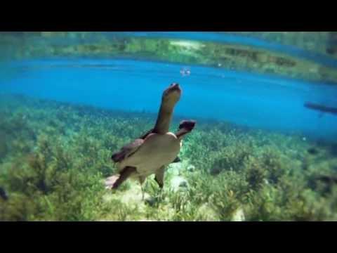 Rare Florida Softshell Turtle Footage