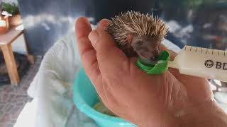 Hedgehog not mother Σκατζοχερακια