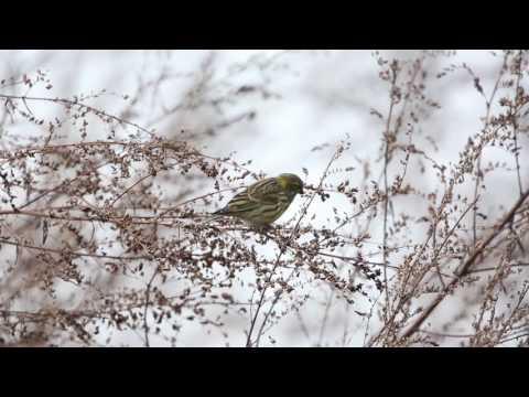 Vroege Vogels - Europese kanarie