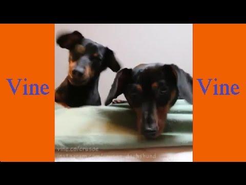 Best Vine Video Compilation by Crusoe Celebrity Dachshund ...