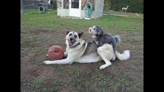 Wolf Vs Poodle