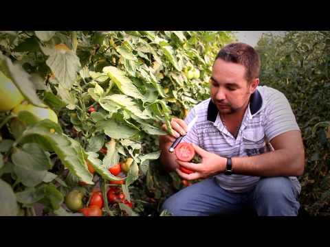 Выращивание овощей томатов (помидоров) в закрытом грунте ( в теплицах)