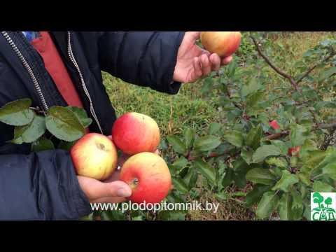 Яблоня сорт Вербное