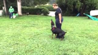 "Protection & Obedience Trained Doberman ""kate"" Puppies For Sale"