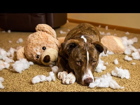 Funny Dog Videos  -  A Cute  Funny Guilty Dogs Who Are Very Sorry Compilation 2017