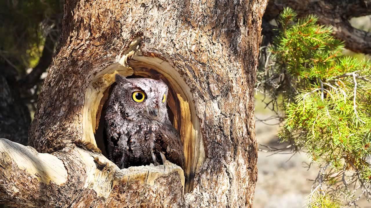 Western screech owl sound