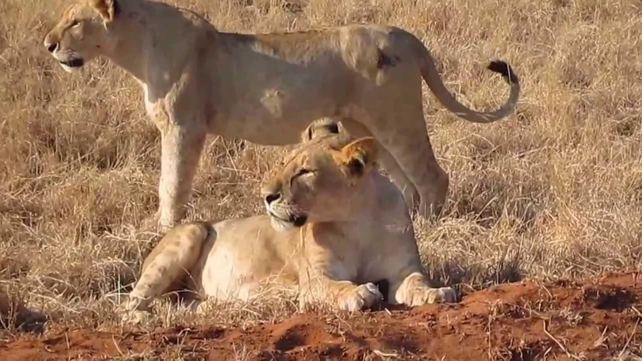 Tsavo East Lion Safari