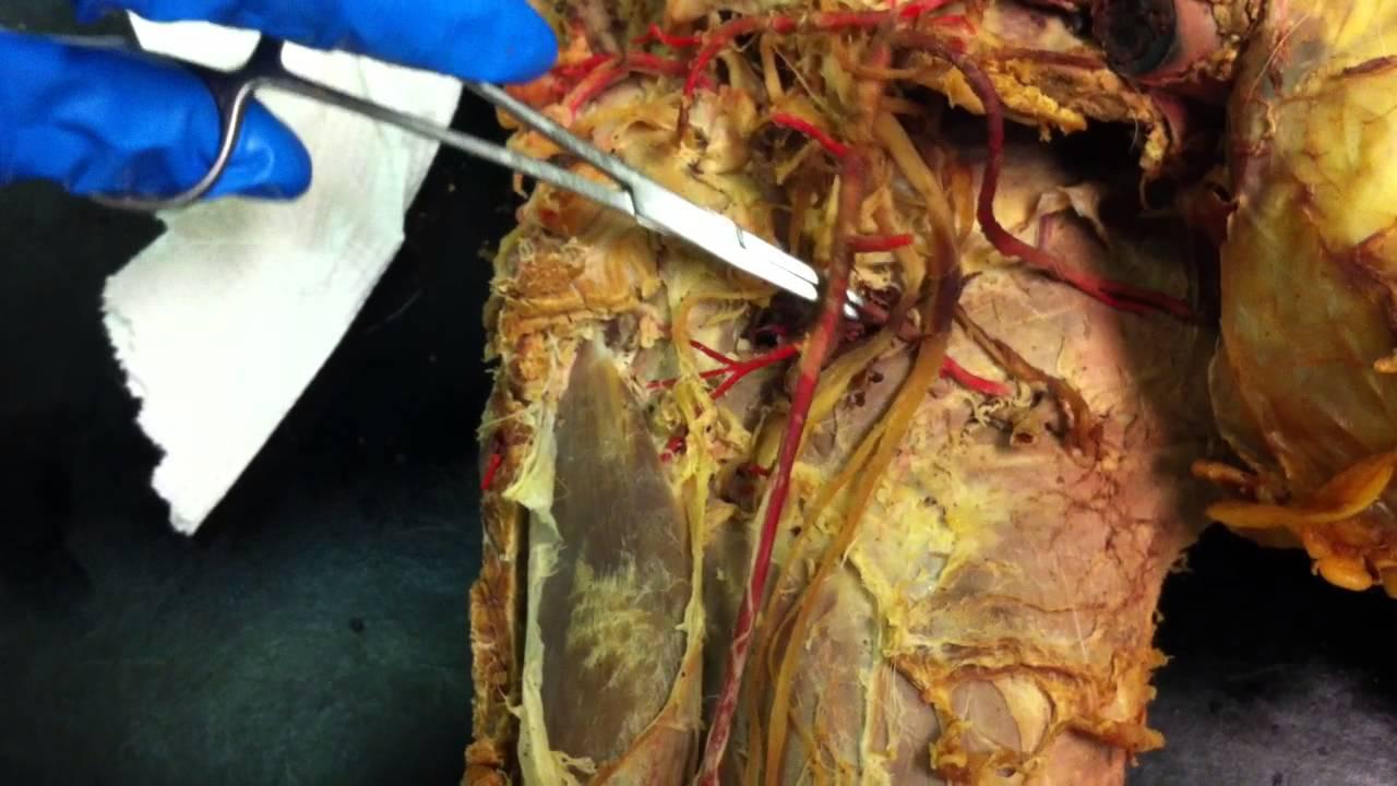 Arteries of the Thoracic Limb - YouTube