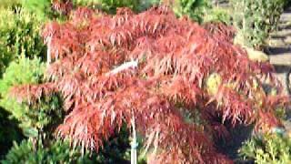 Crimson Queen Maples  Intro