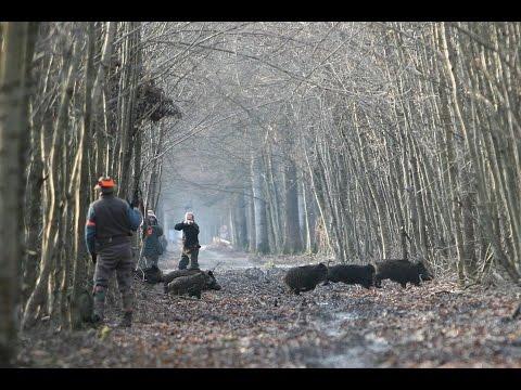 Driven Wild Boar Hunt In The Czech Republic