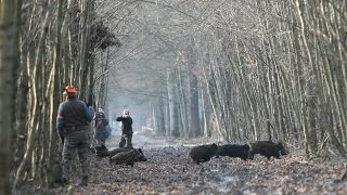 Driven Wild Boar Hunt in the Czech Republic