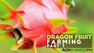 How to grow and manage dragon fruit tree : Dragon fruit farming Part 3