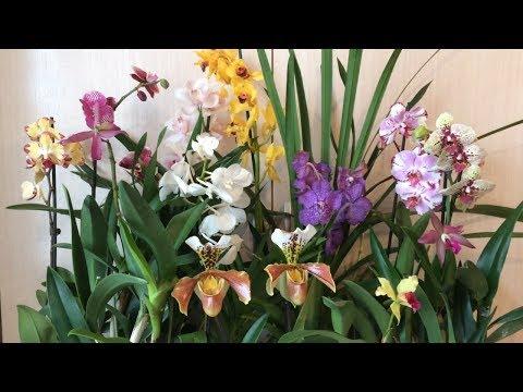 Орхидеи в продаже. Завоз от 05.03.2019г. Ванды, каттлеи, пафы, фаленопсисы и цимбидиумы.