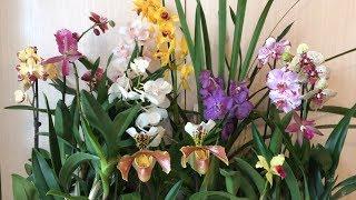 орхидеи в продаже. Завоз от 05.03.2019г. Ванды, каттлеи, пафы, фаленопсисы и цимбидиумы