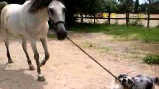 Mon chien berger australien qui tire mon cheval!