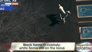 Great Llama Chase Of 2015 Inspires Media Hilarity