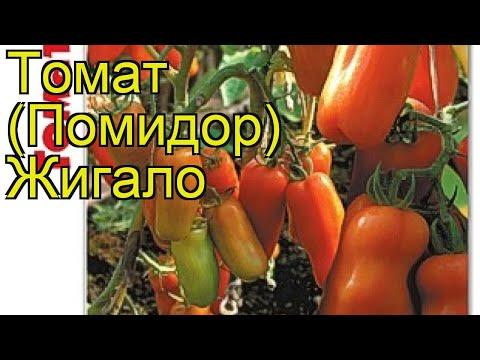 Томат Жигало. Краткий обзор, описание характеристик, где купить семена solanum lycopersicum Zhigalo