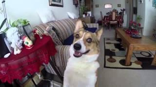 Broadway Corgi Wants His Bacon And Cheese Treats 3