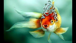Золотая рыбка  Красивые рыбы