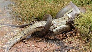 snake battle king kobra vs crocodile king cobra vs cobra