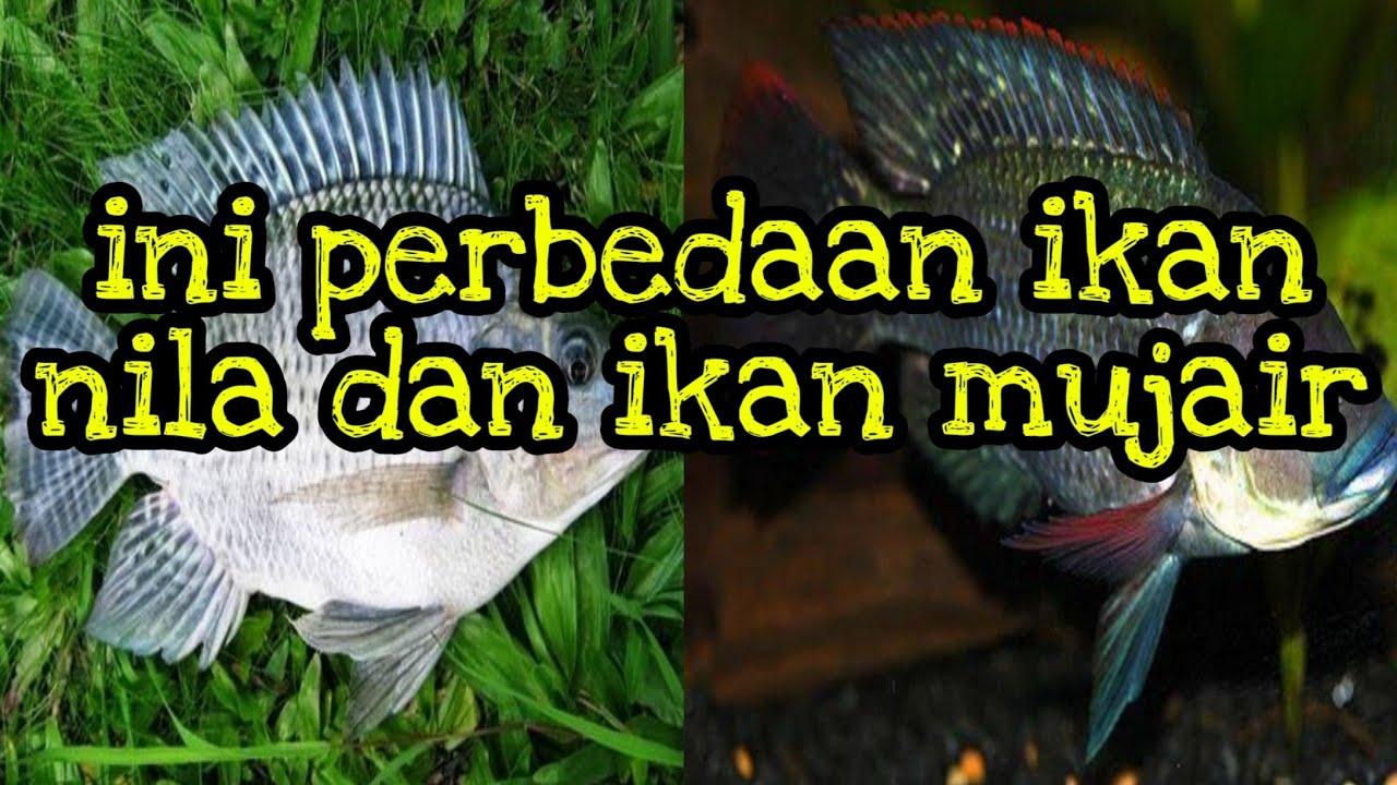 Perbedaan Ikan Nila Dan Mujair Youtube