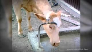Niesamowite krowy