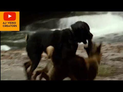 belgian malinois dog vs rottweiler dogs fight