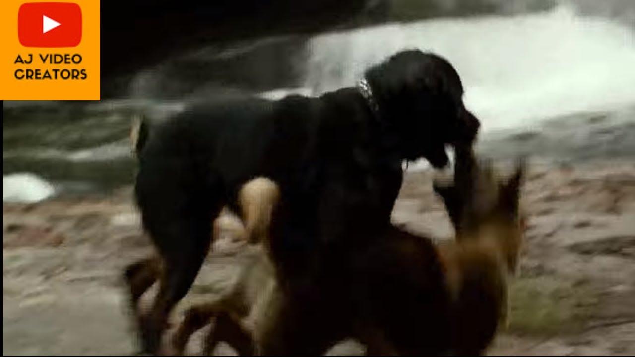 German shepherd vs rottweiler dogs fight | FunnyDog.TV