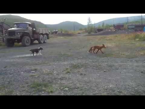 Fox vs dog. Dog playing with a fox