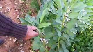 I consigli di nonno vincenzo innesti potaure semina for Oleandro riproduzione