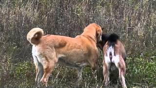 Рабочие собаки фермера. Прогулка собак. Dogs. Working dogs. Farm dogs(Наша группа в контакте http://vk.com/talonurmella Рабочие собаки фермера. Породы нашего хозяйства: испанский мастиф,..., 2014-09-30T10:40:02.000Z)
