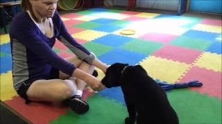 Puppy Training Practice!  Chicago Dog Training: Dog Improvement -- Nancy And Jett :)