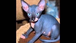 Голые кошки (Sphynx cat) породы кошек( Slide show)!