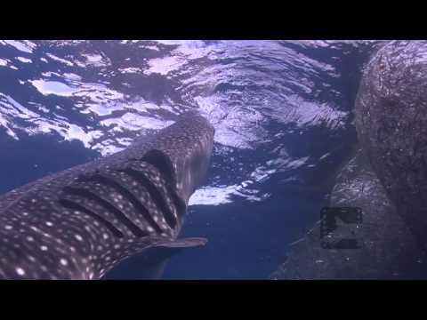 Pelagic Productions - Whale Sharks HD - Cenderawasih Bay, Papua Province, Indonesia