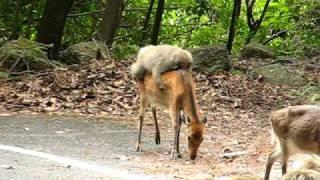 最近屋久島では、サルが木の葉を落として、シカを餌付けしています。手...