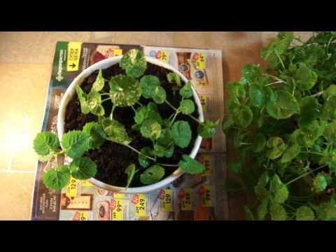 22.03.17. Невеста ( кампанула). Посадила новые ростки.