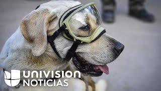 Frida, la heroína canina que tras semanas de trabajo en México se retira de las labores de rescate