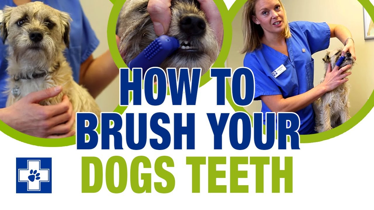 How to Brush a Dogs Teeth