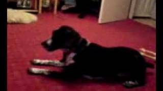 German Pointer Barking At Her Toy