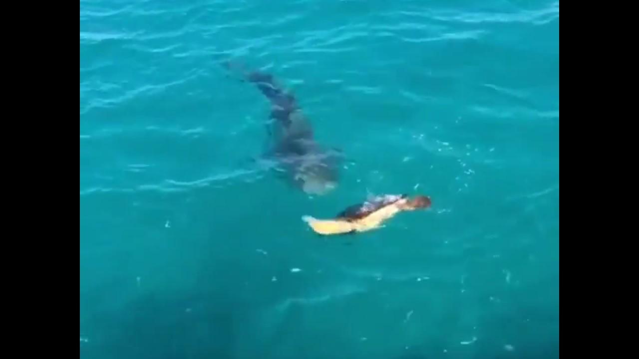 Turtle Fights Off Tiger Shark! - YouTube |Tiger Sharks Attack Turtle
