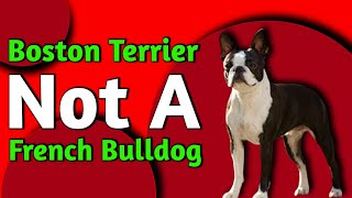 Everything You Should Know About Boston Terrier Dog Breed | Boston Terrier | Dogs Junction.