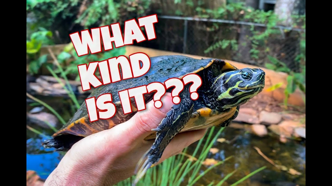 Download How to identify cooters!!