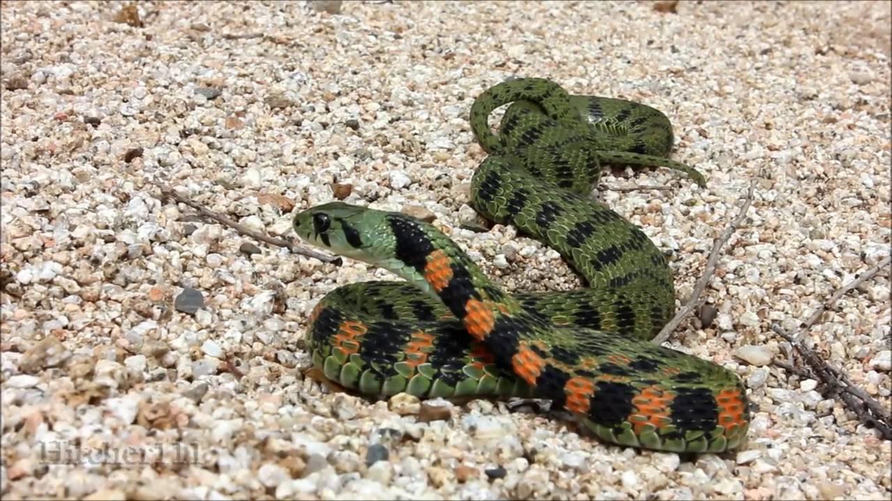 медянки змеи фото