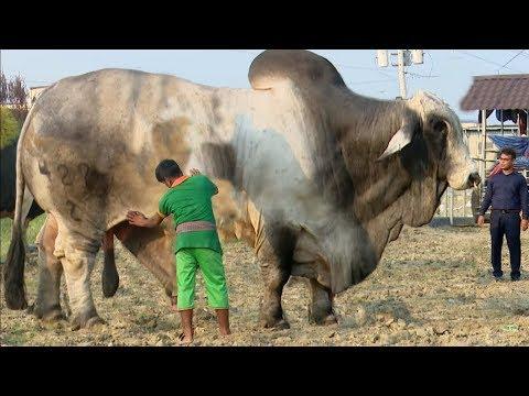 চাইলো ৫০ লাখ বিক্রি হলো ৩৭ লাখে | Big Cow in Bangladesh 2019