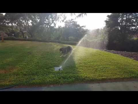 Heisenberg Dog Vs Sprinkler Rnd 2