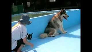 水張り中のプールで戯れるサンディとぺぺ君。 サンディは小さいワンコと...