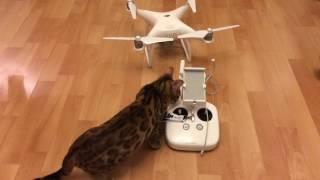 Кошка Джоли настраивает квадрокоптер DJI Phantom 4