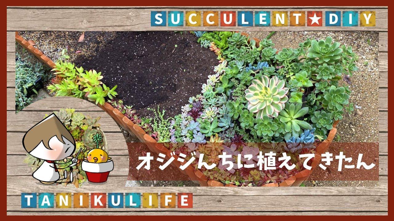 【多肉植物】オジジ花壇へお引っ越ししたん【succulent】