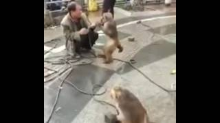 Maymuna tokat atan adam pişman oldu. 😅
