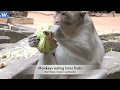 Awesome monkeys food - Monkeys eating lotus fruits - Amazing animals